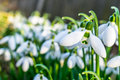 Snowdrops Royalty Free Stock Photo