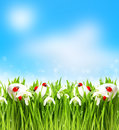 Snowdrops and easter eggs with blurred background in fresh green grass spring landscape Royalty Free Stock Image