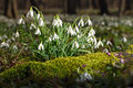 Snowdrops in a floodplain forest growing from moss Stock Photography
