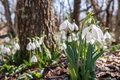 Snowdrops in the forest Royalty Free Stock Photo