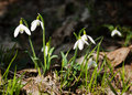 Snowdrops in the forest spring Royalty Free Stock Images