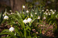 Snowdrops in a forest in spring Stock Photo