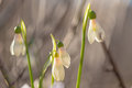 Snowdrops galanthus nivalis with blurred background Stock Image