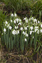 Snowdrops galanthus white uk green stalks white flowers drops of water after recent rain Stock Images