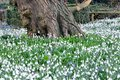 Snowdrops by large treetrunk carpet of Stock Image