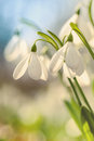 Snowdrops and lights,spring Royalty Free Stock Photo