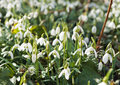 Snowdrops lots of at the end of the winter Stock Images