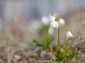 Snowdrops in nature Royalty Free Stock Photo