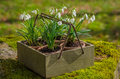 Snowdrops old wooden box Stock Images