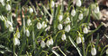 Snowdrops in spring morning closeup photo Royalty Free Stock Photo