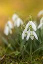 Snowdrops In Springtime