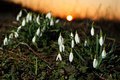 Snowdrops in sunlight Stock Photography