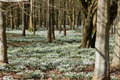 Snowdrops in woodland Royalty Free Stock Photography