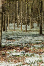 Snowdrops in woodland, vertical Royalty Free Stock Image