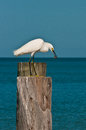 Snowey egret eating a shrimp and standing on piling in gulf of mexico Royalty Free Stock Photos