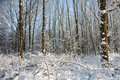 Snowfall in bare forest Stock Photo