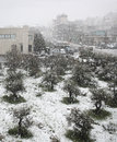 Snowfall on olives and road an olive tree grove building a highway during a snow blizzard in lebanon Royalty Free Stock Image
