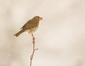 During a snowfall a song thrush turdus philomelos perches on a thin twig with a berry in its beak Stock Photo
