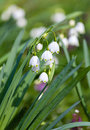 Snowflake flowers in a garden leucojum aestivum growing spring Stock Images