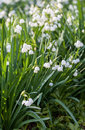 Snowflake flowers in a garden leucojum aestivum growing spring Royalty Free Stock Images