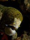 Snowflake moray like all eels the s breathing gape is not a threat display if we re being anthropomorphic i prefer to think Royalty Free Stock Images