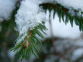 Snowflakes on the bough camera focused coniferous Royalty Free Stock Images