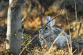 Snowshoe hare in its lay Royalty Free Stock Photo