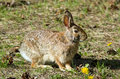 Snowshoe hare lepus americanus portrait of a in springtime ontario canada this mammal is also known as varying or rabbit as it is Stock Image