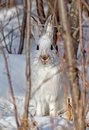 Snowshoe hare portrait of a also known as varying or rabbit this is found in north america its fur turns white Stock Images