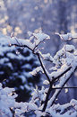 Snowy bough with bokeh in the background Royalty Free Stock Photo