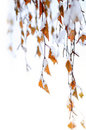 Snowy branches Royalty Free Stock Photo