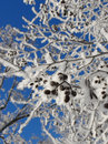Snowy branches blue sky background Royalty Free Stock Photo