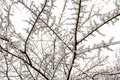 Snowy branches fragile holding the late snowfall Royalty Free Stock Photo