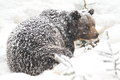 Snowy brown bear Stock Photography