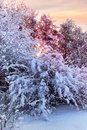 Snowy bush in winter forest at sunrise Stock Image