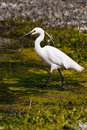Snowy Egret (2) Stock Photo