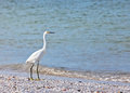 Snowy egret along coastal waters sanibel island florida Stock Photos