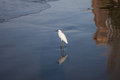 Snowy egret a on the beaches of cartagena with image reflected in the water Royalty Free Stock Images