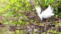 Snowy egret in breeding plumage egretta thula wakodahatchee wetlands delray beach south florida Royalty Free Stock Photography
