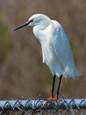 Snowy egret breeding plumage standing on fence in Royalty Free Stock Image
