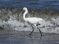 Snowy egret egretta thula a beautiful small white heron hunts for fish along the shore of the pacific ocean peru the range of this Stock Image