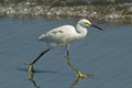 Snowy egret egretta thula a beautiful small white heron hunts for fish along the shore of the pacific ocean peru the range of this Stock Photography