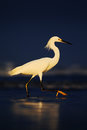 Snowy Egret, Egretta thula, in the coast habitat. Heron with sun in the morning sunrise. Bird with the dark blue sea. Heron in the Royalty Free Stock Photo