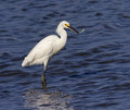 Snowy egret egretta thula fishing edwin b forsythe national wildlife refuge Royalty Free Stock Photo