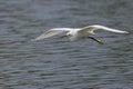 Snowy egret egretta thula flying in flight member of the ardeidae family Royalty Free Stock Image