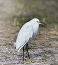 Snowy egret egretta thula portrait Royalty Free Stock Photos