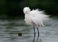 The snowy egret egretta thula showing off his plumage during breeding season Royalty Free Stock Image