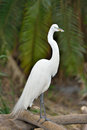 Snowy egret egretta thula standing on a small log in the shade with palmetto tree in the background Stock Photography