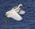 Snowy egret egretta thula taking flight edwin b forsythe national wildlife refuge Royalty Free Stock Photography