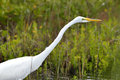 Snowy egret egretta thula walking with its head extended in a swampy area of eastern florida Royalty Free Stock Photography